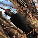 Black woodpecker by Vasil Popov