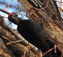 Black woodpecker by Vasil Popov