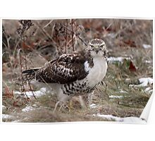 Grounded / Red Tail Hawk Poster