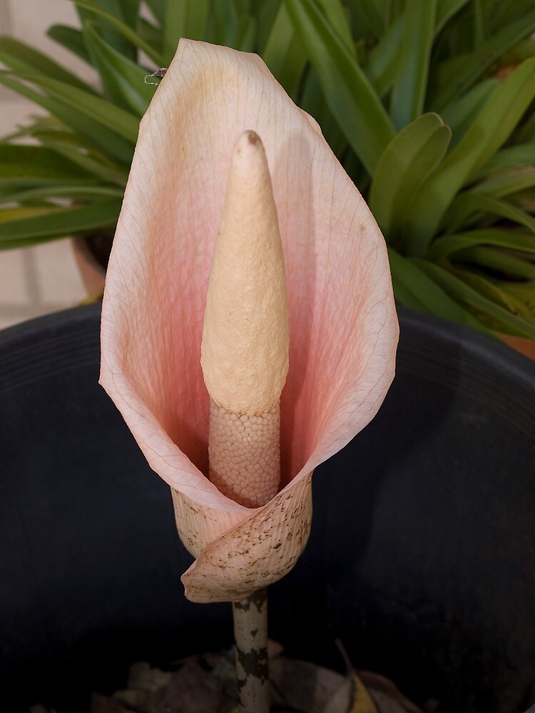 Snake Plant flower by Anna D'Accione