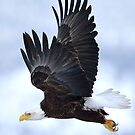 Bald Eagle In Flight by wildlifist