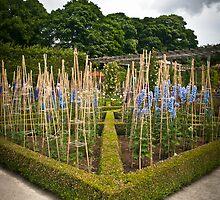 Alnwick Delphiniums by Sarah-fiona Helme