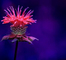 Bee Balm by Shelley Neff
