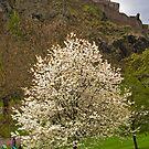Blossom Time by Tom Gomez