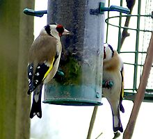 Goldfinches on a feeder by WILT