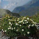 Alpine Diapensia by SAJONES