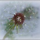 Dandelion by saripin