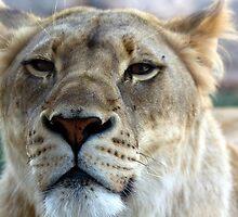 The Lioness by Ray Chiarello