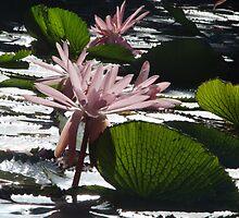 Water Lillies - Broome, Western Australia by Dan & Emma Monceaux