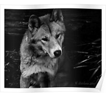 Cutey dingo in b/w Poster
