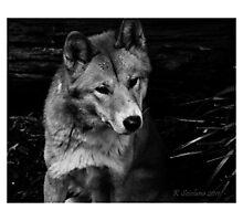 Cutey dingo in b/w Photographic Print