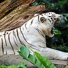 White Tiger - Singapore. (3) by Ralph de Zilva