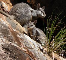 Black-flanked Rock-wallabies (Petrogale lateralis) - Mandu-Mandu Gorge, Western Australia by Dan & Emma Monceaux
