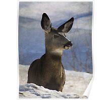 Female Mule Deer Poster