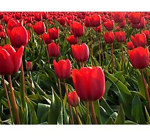 A field full Red Tulips Photographic Print