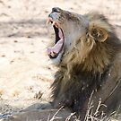 Lions Yawn by Will Hore-Lacy