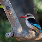 Brown-hooded Kingfisher by Will Hore-Lacy