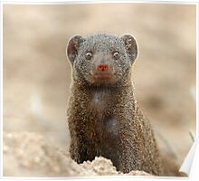 Dwarf mongoose (Who are you ?) Poster
