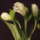 White Flower Closeup 2 by Colin Bentham