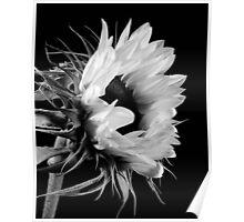 Sunflower No. 6 Poster