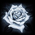 White Rose by Paula Stirland