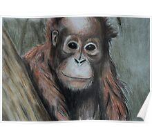 Tinted charcoal orangutan Poster