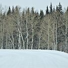Aspen Grove ~ Largest living organism in the world! by barnsis