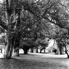 Phoenix Park Trees, Dublin by Dave  Kennedy