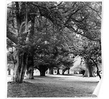 Phoenix Park Trees, Dublin Poster