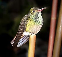 Rufous-tailed Hummingbird by Robert Kelch, M.D.