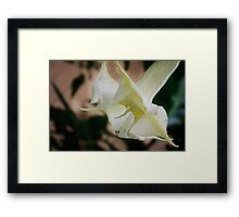 Devil's or Angel's Trumpet in Costa Rica Framed Print