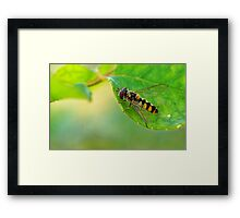 insect on rose bush Framed Print