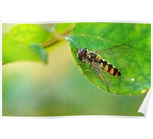 insect on rose bush Poster