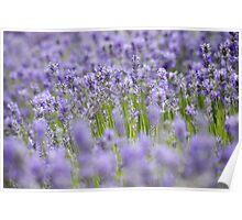The Colour Purple - Lavender Poster