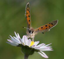 Butterfly on daisy by Rachele Totaro