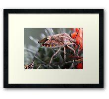 Sunflower Seed Bug - Agonoscelis versicoloratus - Stinkbesie Framed Print
