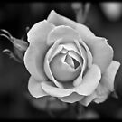 a white rose by apsjphotography