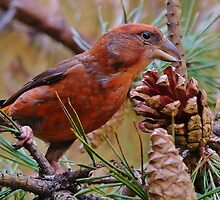 Scottish Crossbill by georgeporteous