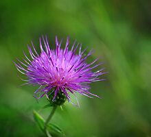 Thistle Pink by Vicki Pelham
