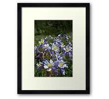 More Columbines Framed Print