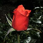 Red Rose by chaisetaylor