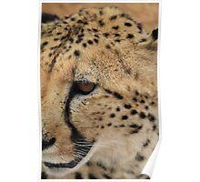 cheetah eye Poster