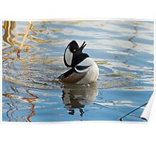 Hooded Merganser looking for his mate Poster