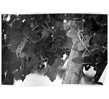 Cabernet Grapes Bordeaux Poster