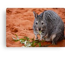"""Banded Hare-Wallaby""  Shark Bay, Western Australia Canvas Print"