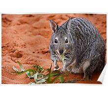 """Banded Hare-Wallaby""  Shark Bay, Western Australia Poster"