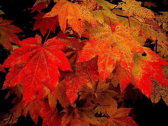 Vine ~ Vine ~ Maple by Charles & Patricia   Harkins ~ Picture Oregon