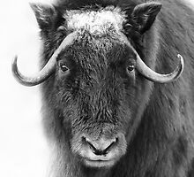 Muskox by Jim Cumming