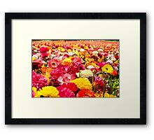 A field of multicolor cultivated Buttercup (Ranunculus) flowers Framed Print
