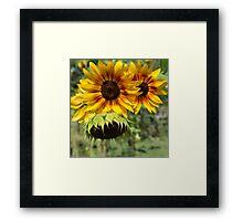 Summer Sunflowers Framed Print